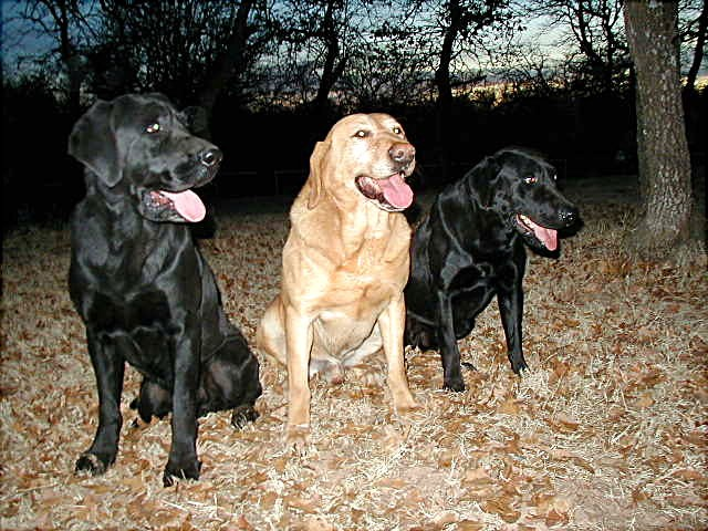 dog stud injun magic service eagertrieves kenya california labradors labrador mike champion joe retriever dogs ch